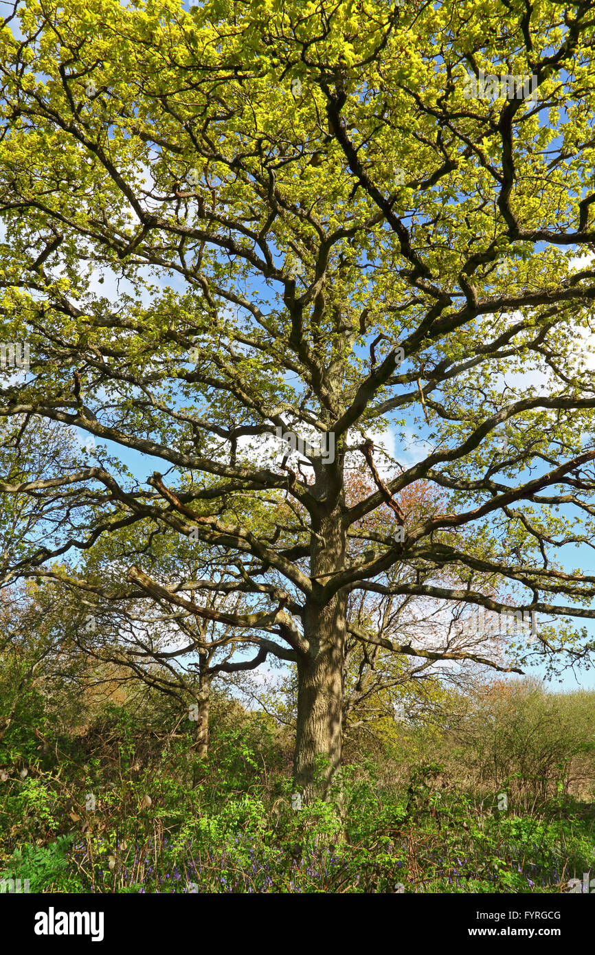 Stood looking up into the branches of a grand and beautiful Oak tree with those lovely new growth lime coloured Stock Photo