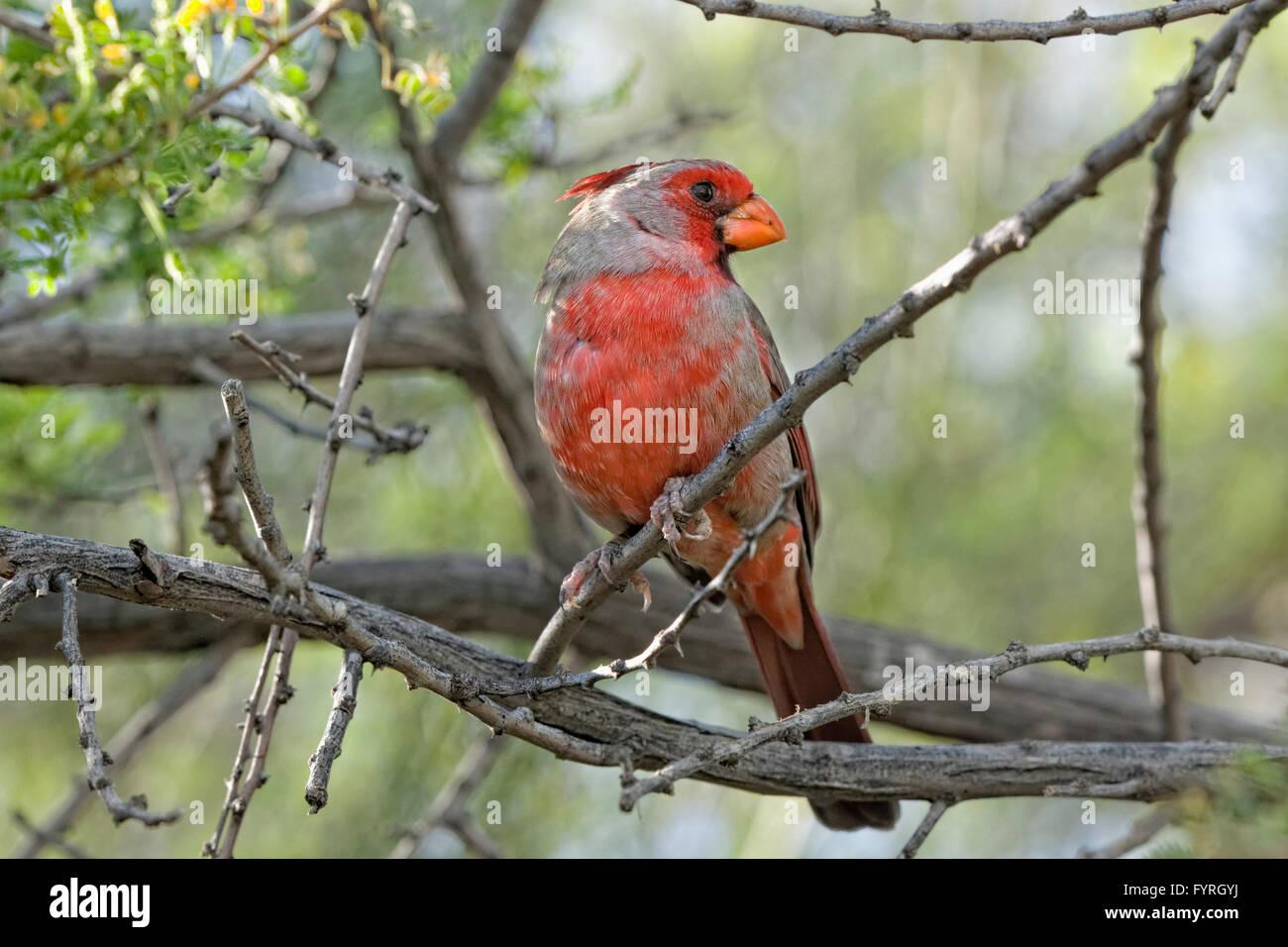 Pyrrhuloxia or Desert Cardinal - Pyrrhuloxia Cardinalis sinuatus - Southern Arizona - Stock Image