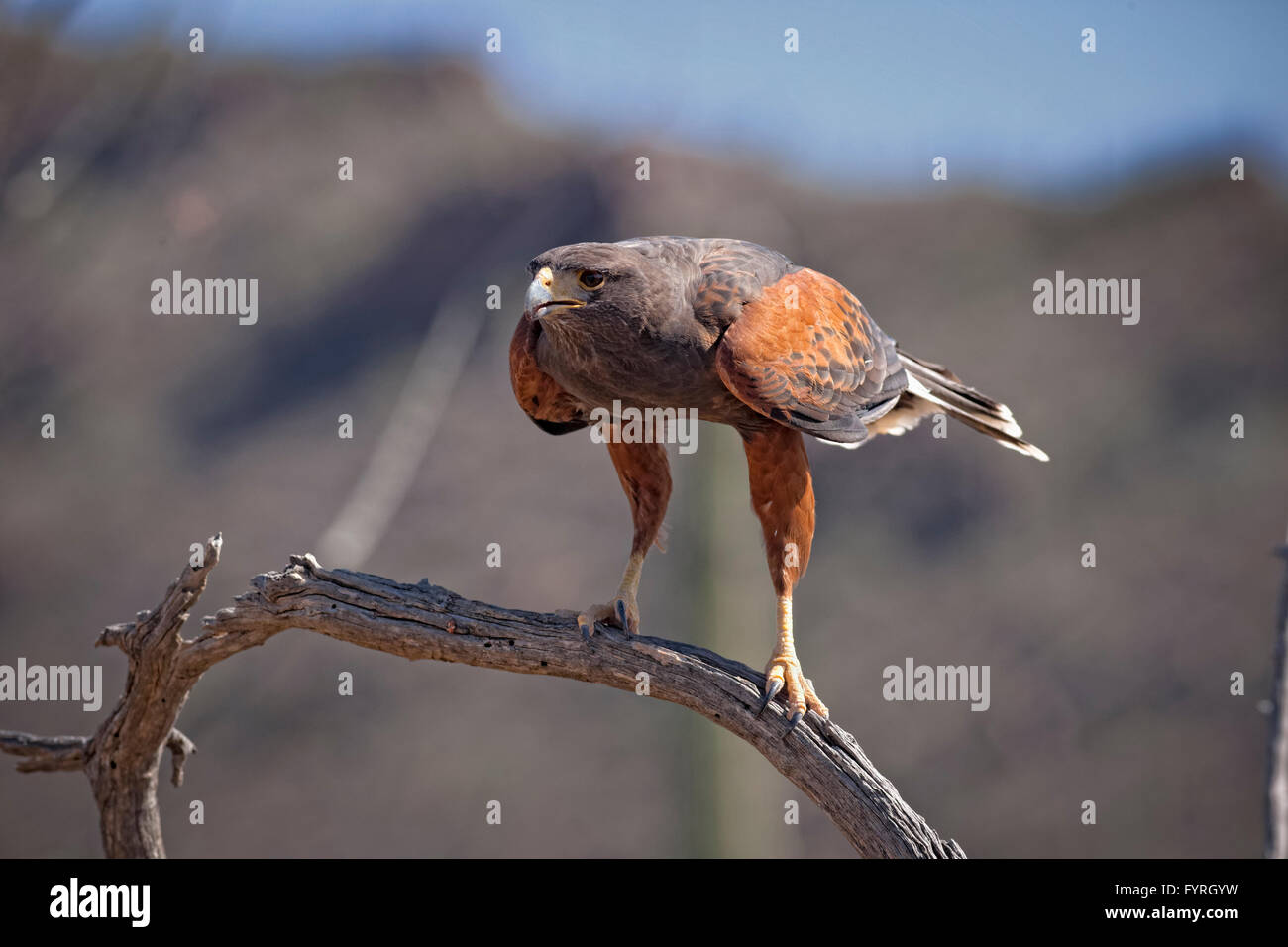 The Harris's Hawk, Parabuteo unicinctus, is formerly known as the Bay-Winged Hawk or Dusky Hawk seen in the - Stock Image