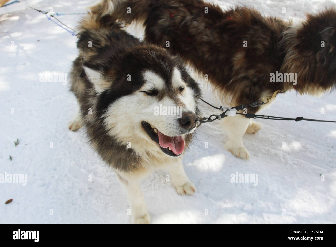 A dog sledding camp in Plessisville, Quebec. Canada. - Stock Image