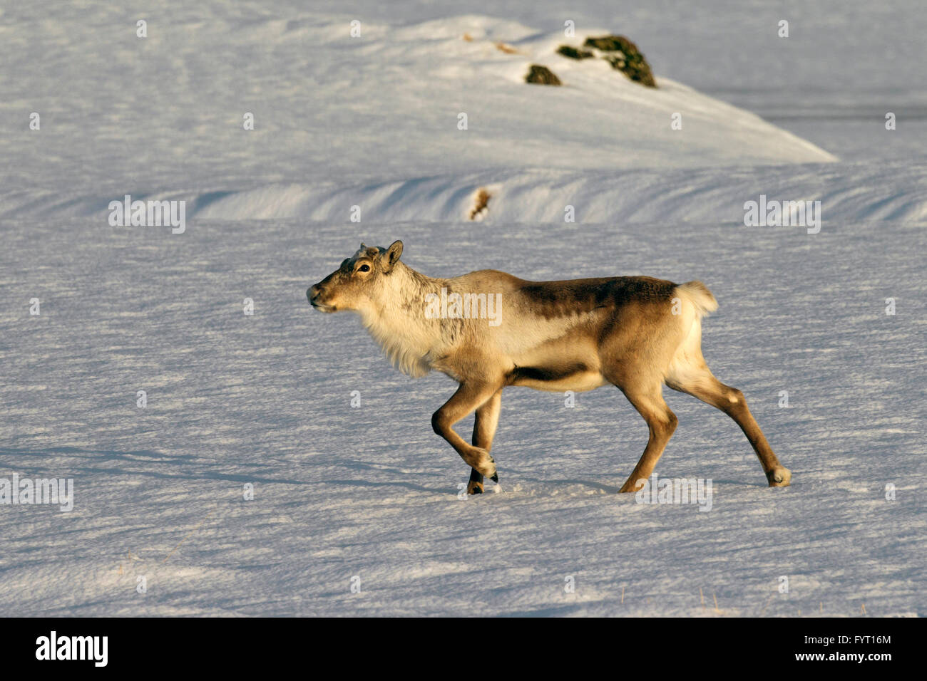 Reindeer (Rangifer tarandus) without antlers foraging in snow covered winter landscape, Iceland - Stock Image