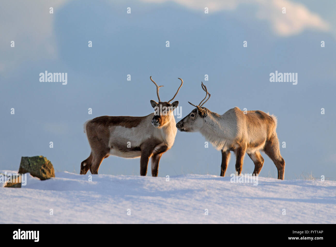 Two reindeer (Rangifer tarandus) foraging in snow covered winter landscape, Iceland - Stock Image