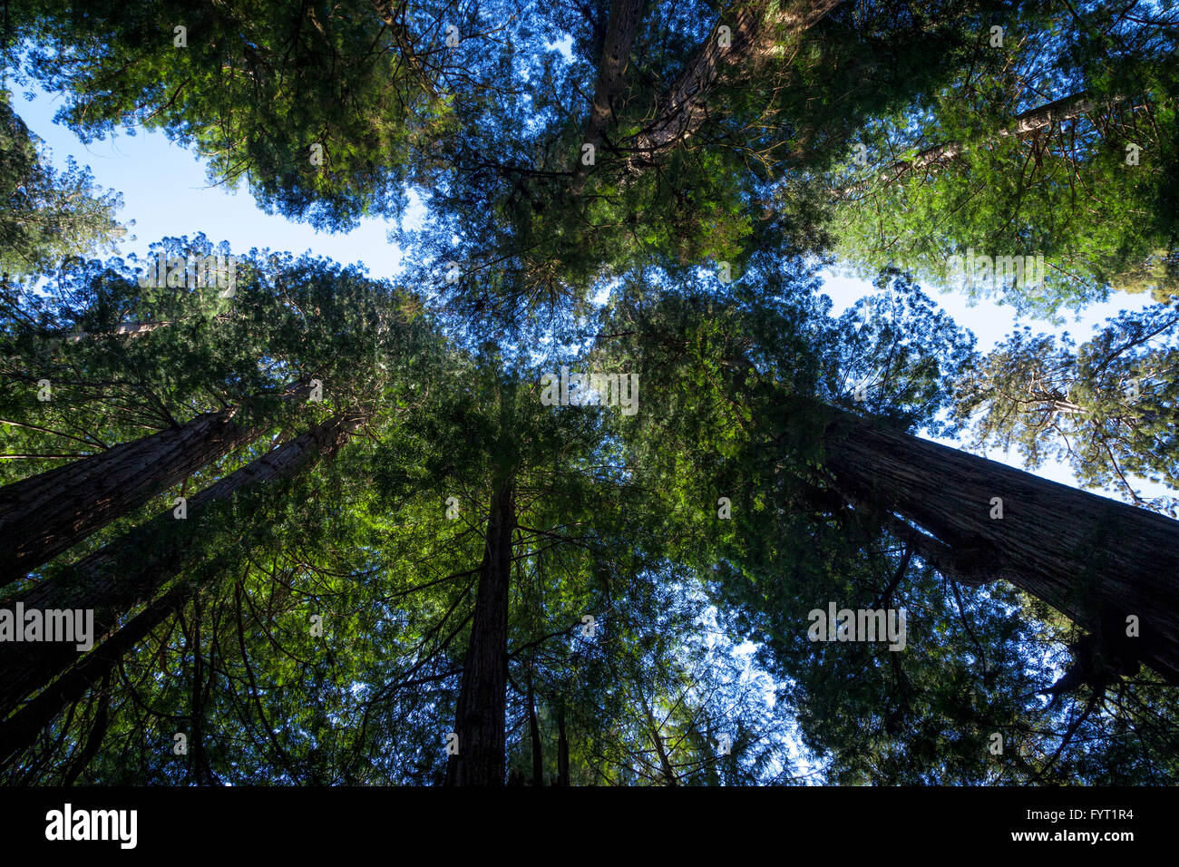 Redwood trees reach for the sky at prairie creek redwoods state park in Northern California near the town of Orick. - Stock Image