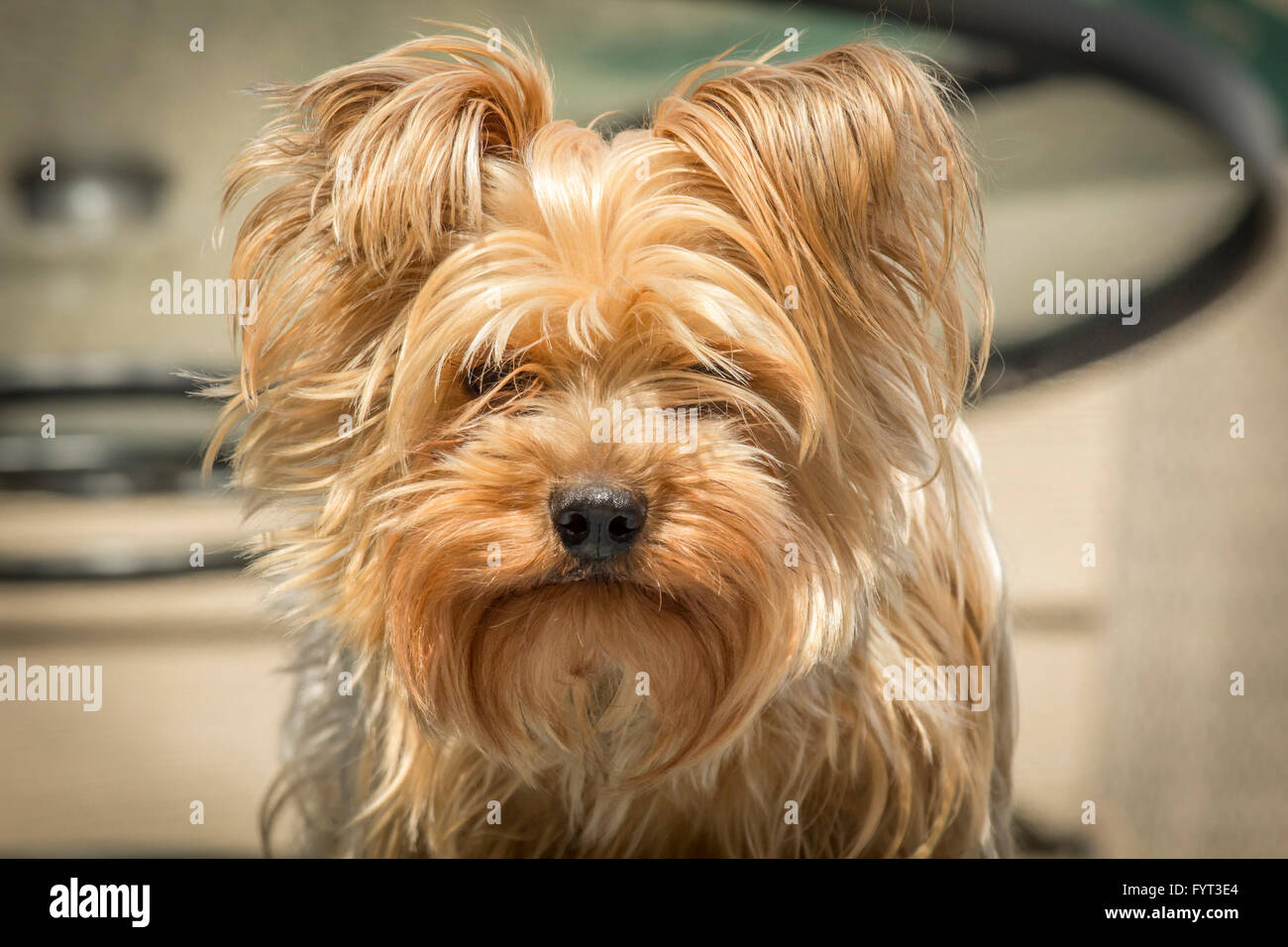 Portrait Yorkshire Terrier Or Yorkie Needs A Haircut Or Trim Stock