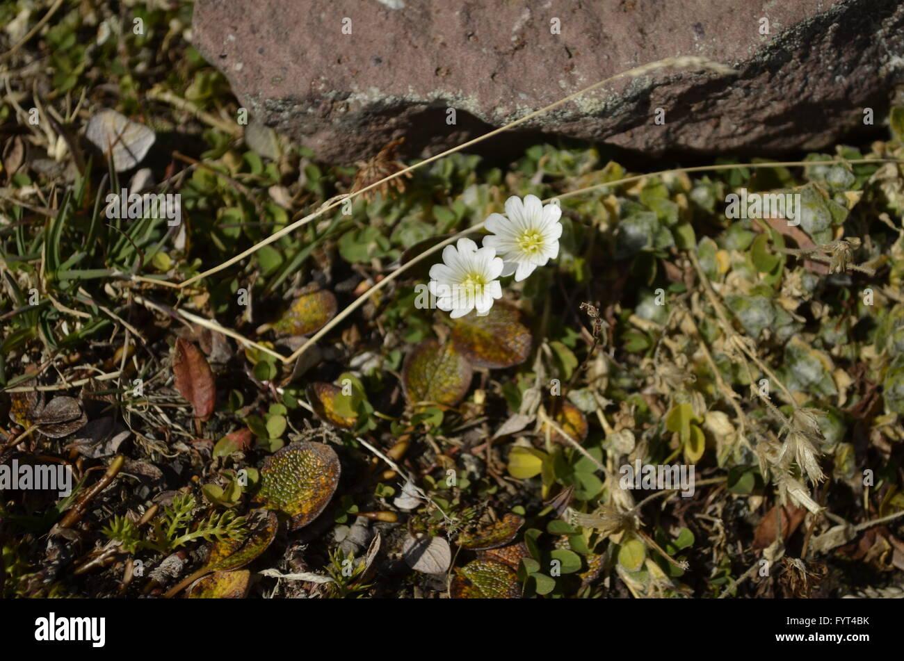 Small White Mountain Flowers Stock Photos Small White Mountain