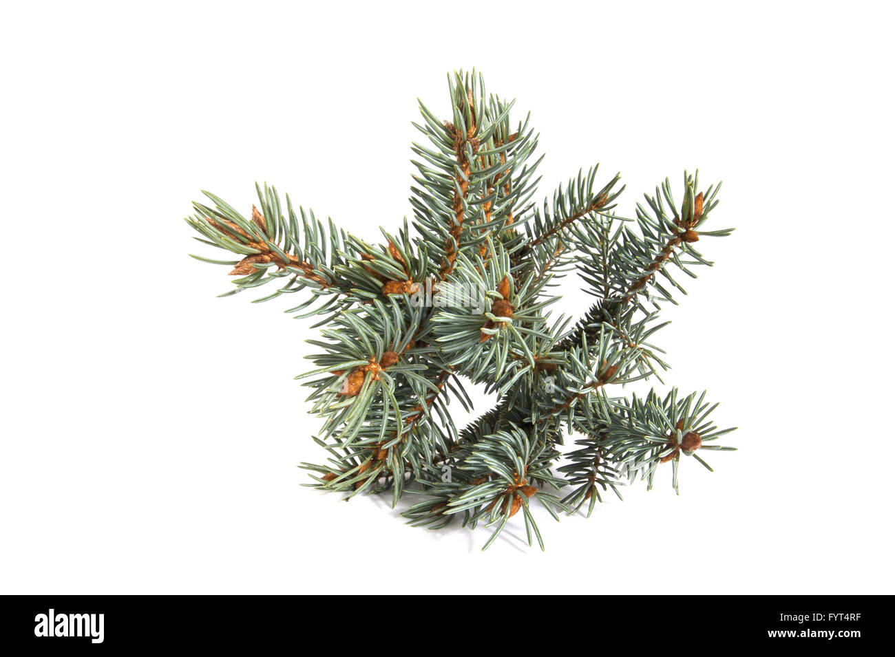 The branch of blue spruce. - Stock Image