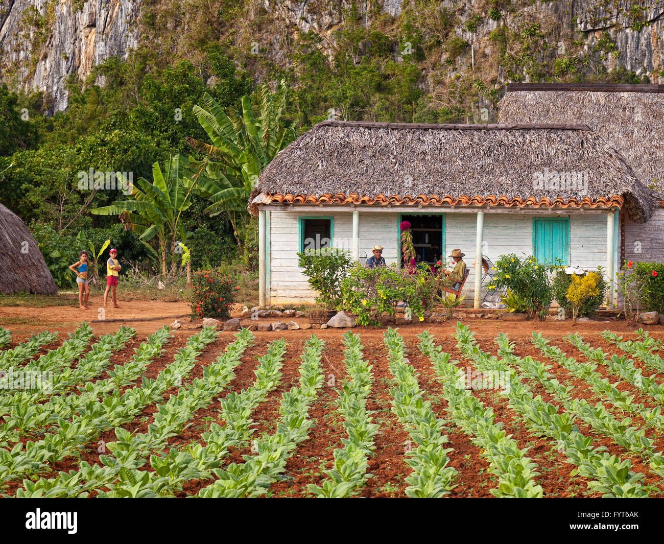Tobacco farm, Cuba. - Stock Image