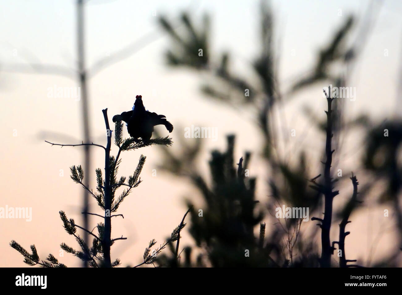 Silhouette of perching male Black Grouse above courting place before dawn - Stock Image