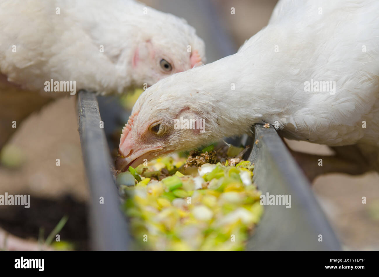 Younger chickens and turkeys, chickens pecking for food in the pan - Stock Image