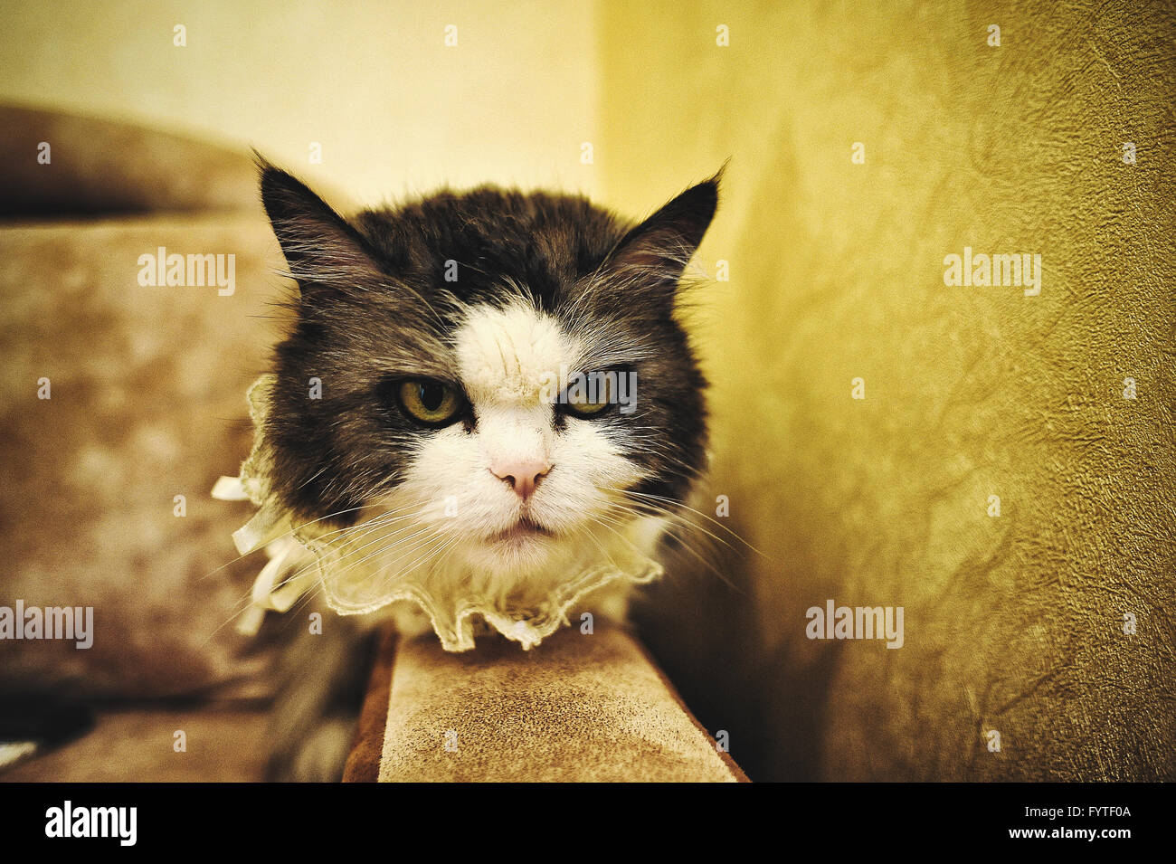 angry and funny wedding cat - Stock Image
