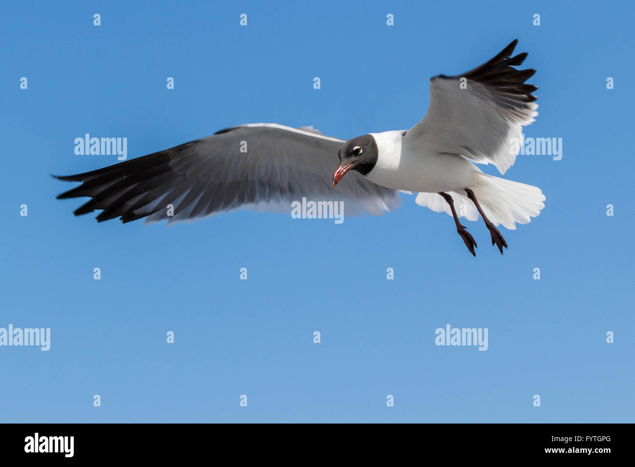 Laughing Gulls looking for handouts from Galveston-Bolivar ferry passengers. Stock Photo