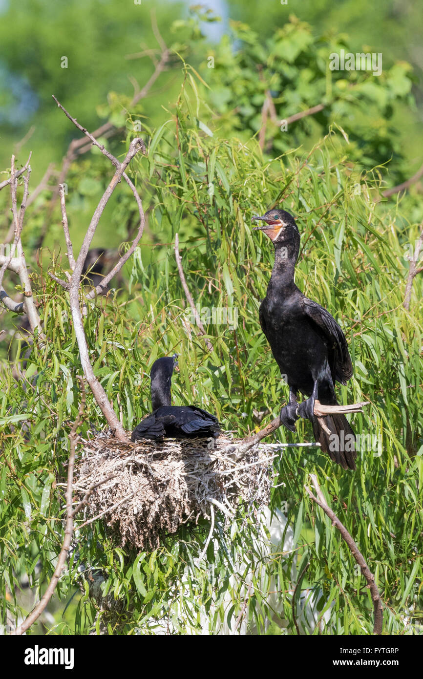 Neotropic Cormorant at The Rookery at Smith Oaks in High Island, Texas, during breeding season. - Stock Image