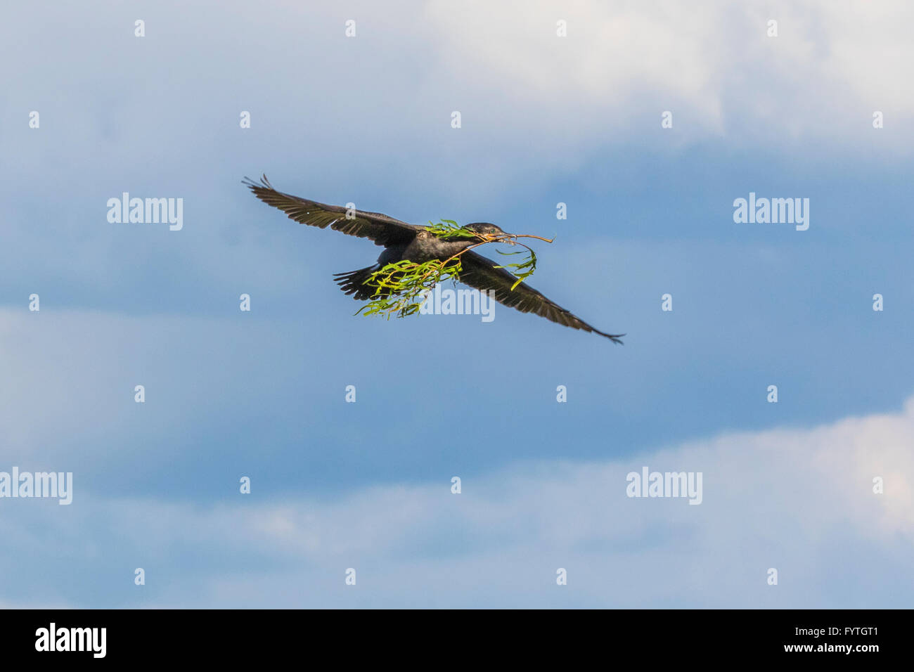 Neotropic Cormorant flying with stick for nest at The Rookery at Smith Oaks in High Island, Texas, during breeding - Stock Image