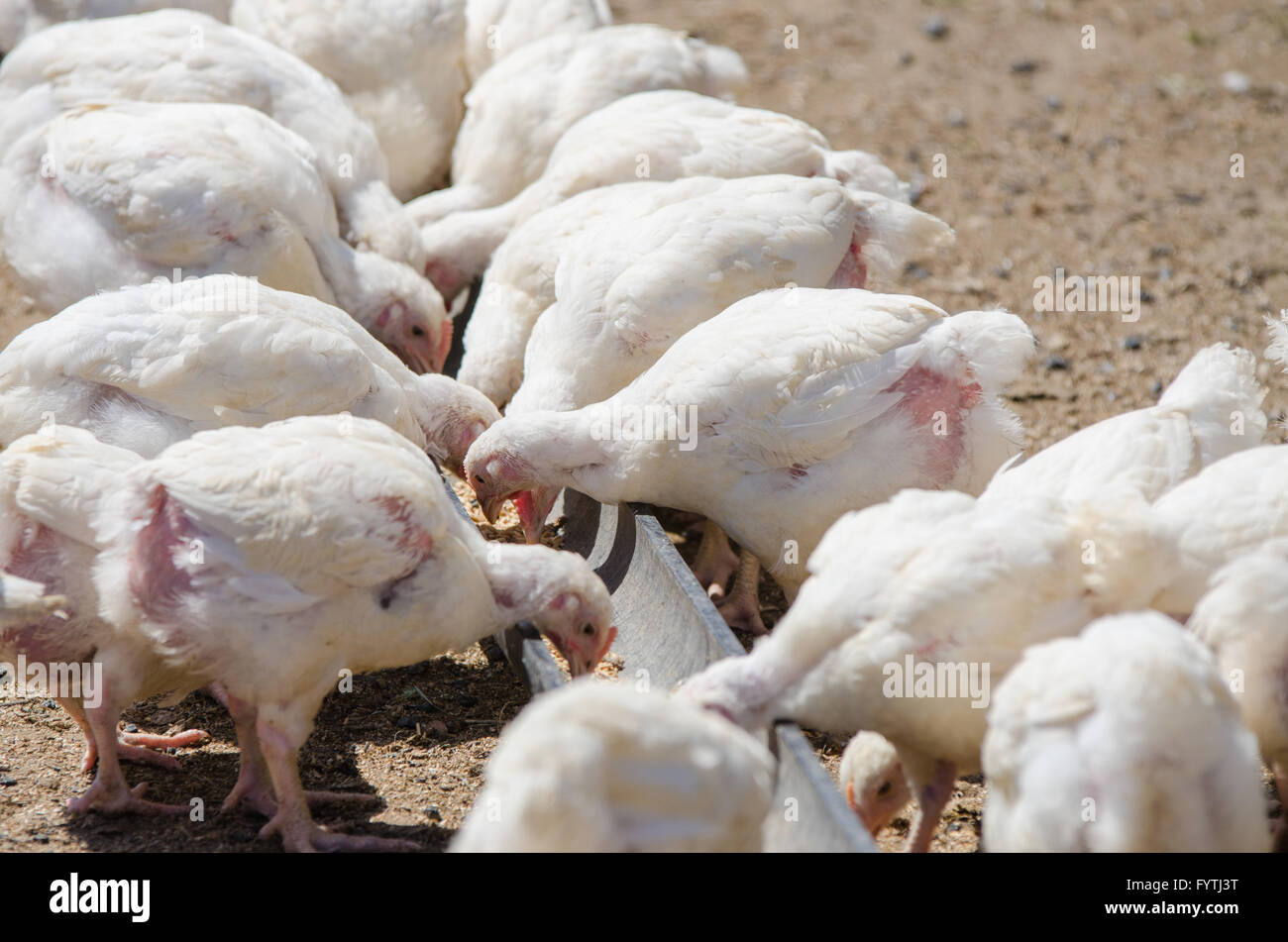 Many chicks growing up chickens and turkeys peck feed tray pen - Stock Image