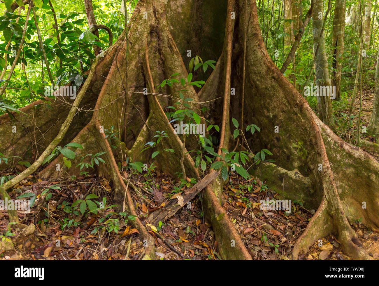 OSA PENINSULA, COSTA RICA - Royal mahogany tree in primary rain forest. (Carapa guianensis). Local names: caobilla - Stock Image