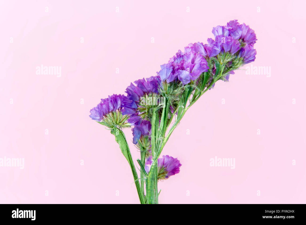 plant, flower, bloom, blossom, flora, dry flowers, pink background - Stock Image