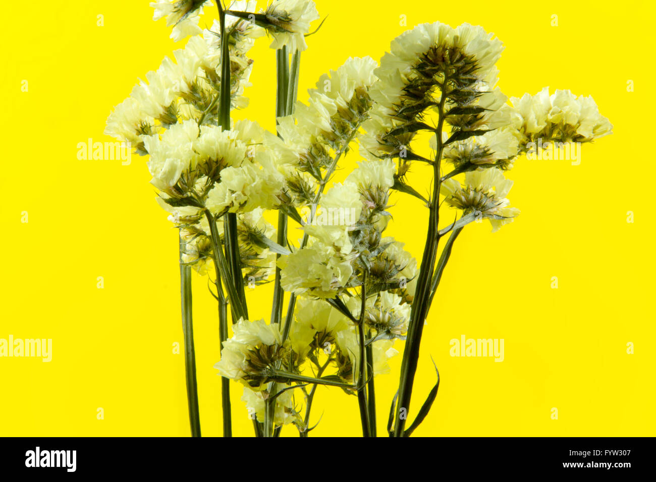 plant, flower, bloom, blossom, flora, dry flowers, yellow background - Stock Image