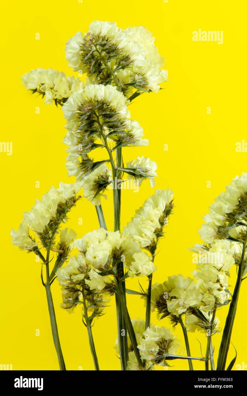 plant, flower, bloom, blossom, flora, dry flowers, yellow backgound - Stock Image