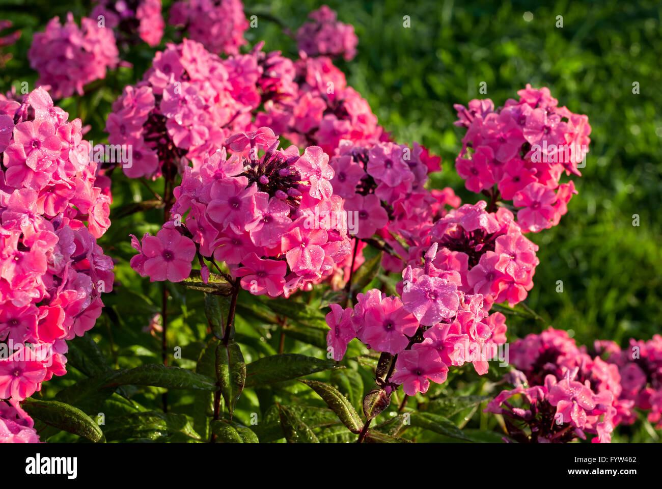 Phlox paniculata fall phlox garden phlox or perennial phlox is a phlox paniculata fall phlox garden phlox or perennial phlox is a species of flowering plant in the family polemoniaceae mightylinksfo