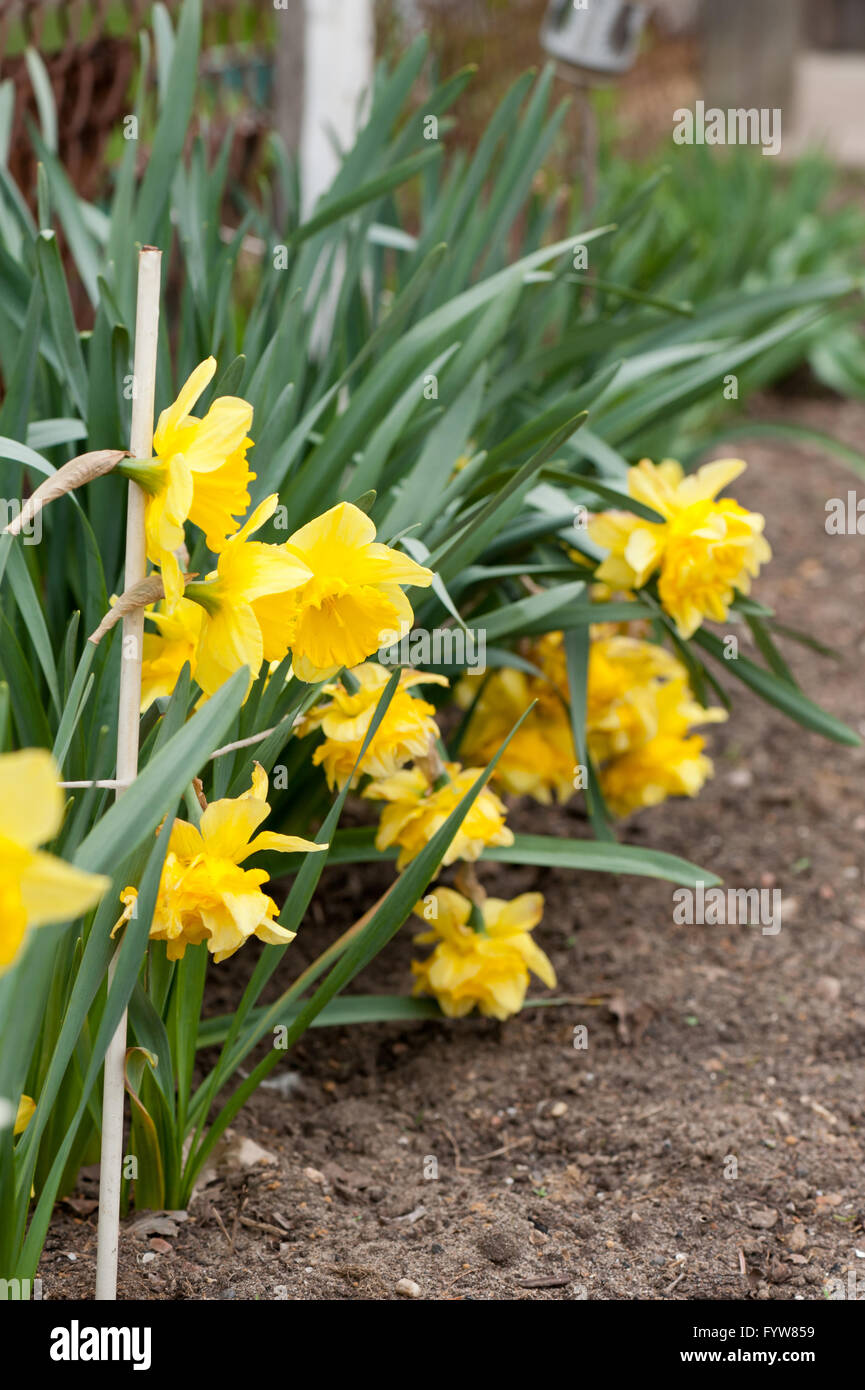 Daffodils Yellow Flowering Plants Growing Spring Flowers In Private