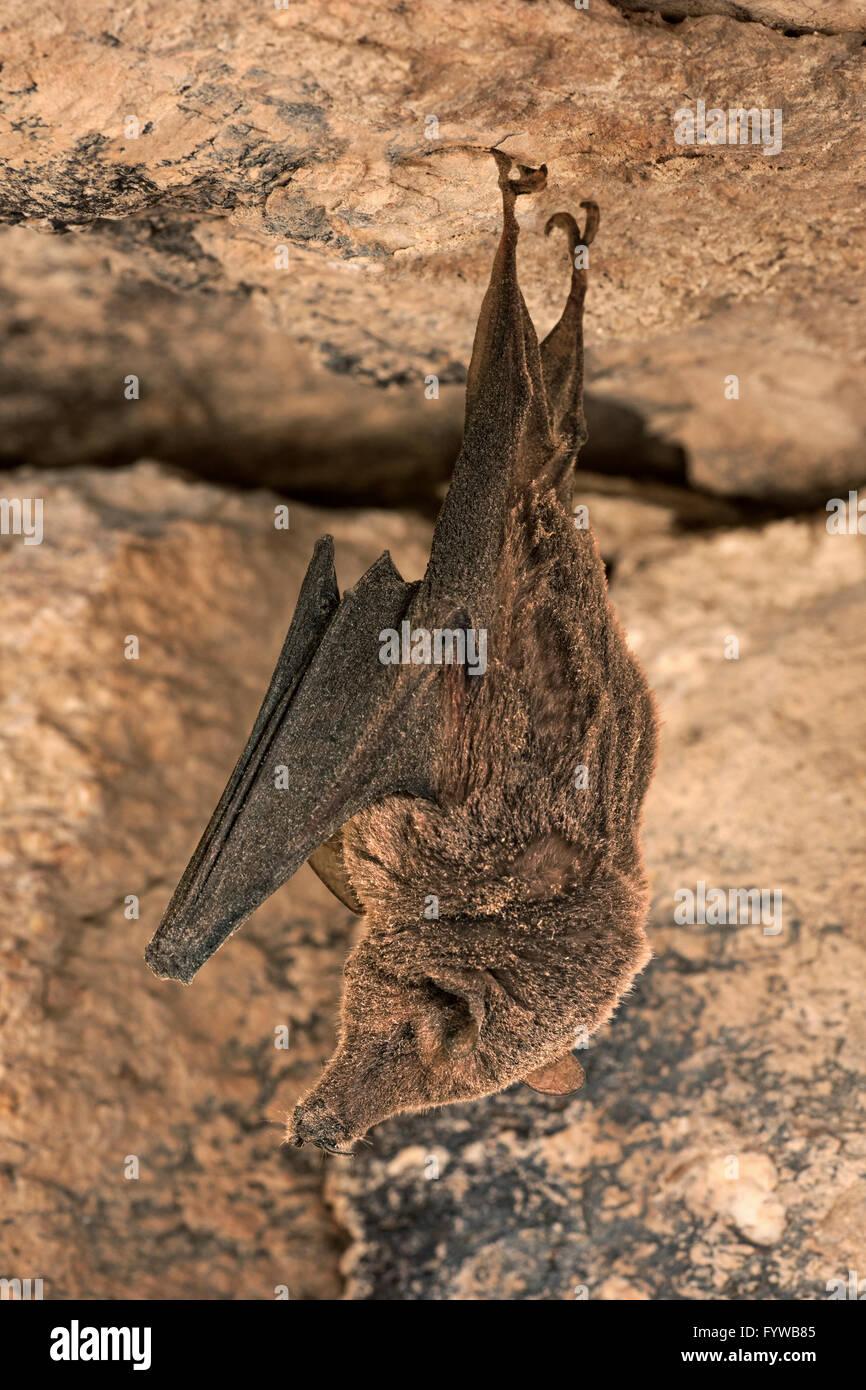 Lesser Long-Nose Bat Hibernating (and Covered in Dust) - Leptonycteris yerbabuenae - Stock Image
