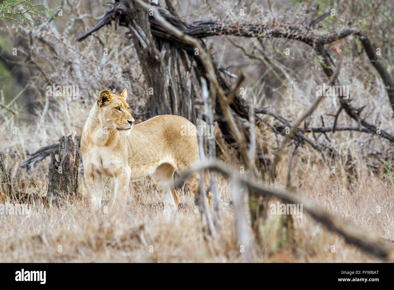 Lion Kruger national park, South Africa ; Specie Panthera leo family of felidae - Stock Image