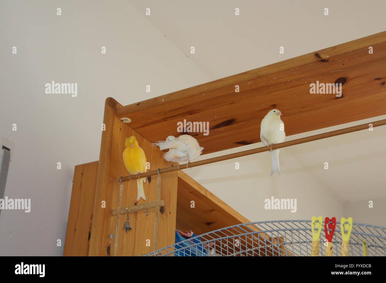 Canaries in bookshelf - Stock Image