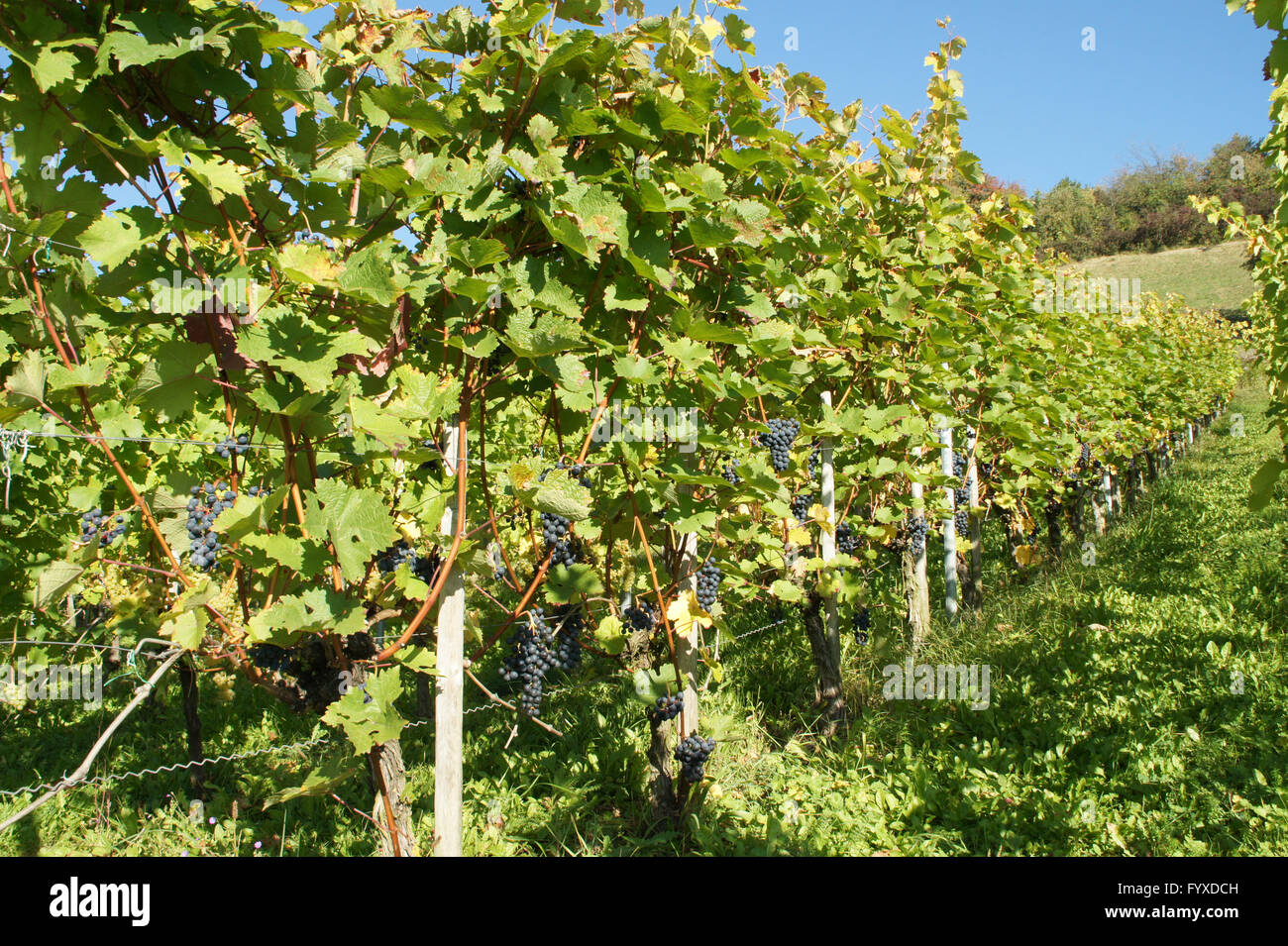 Vitis vinifera Dornfelder, Grape vine Stock Photo