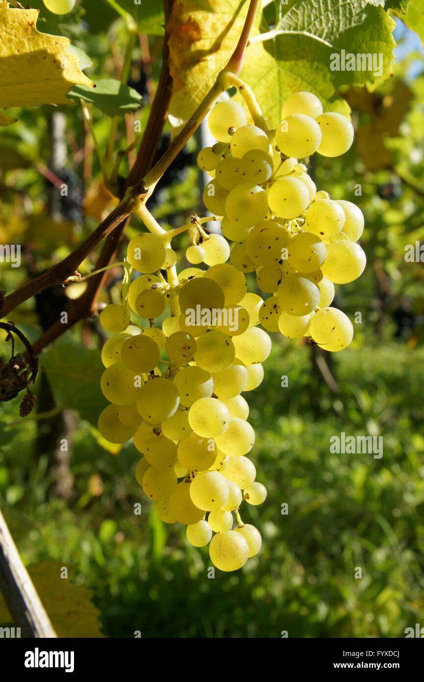 Vitis vinifera Müller Thurgau, Grape Vine Stock Photo