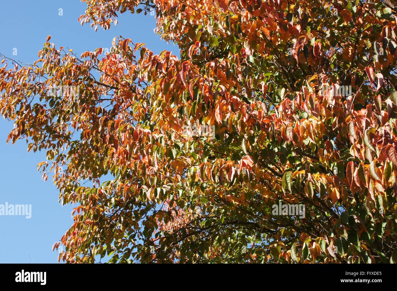 Prunus sargentii, Japanese hill cherry Stock Photo