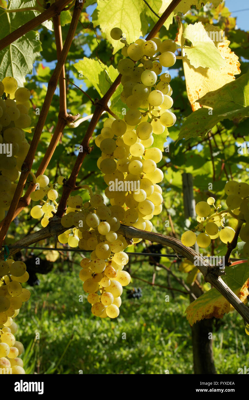 Vitis vinifera Müller Thurgau, Grape vine Stock Photo