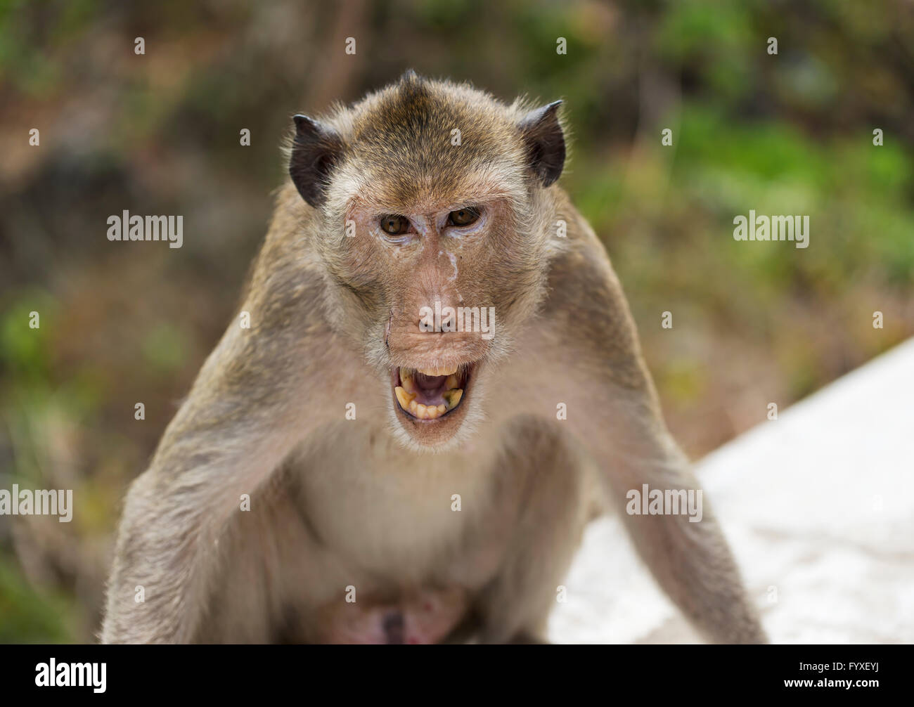 An angry monkey - Stock Image