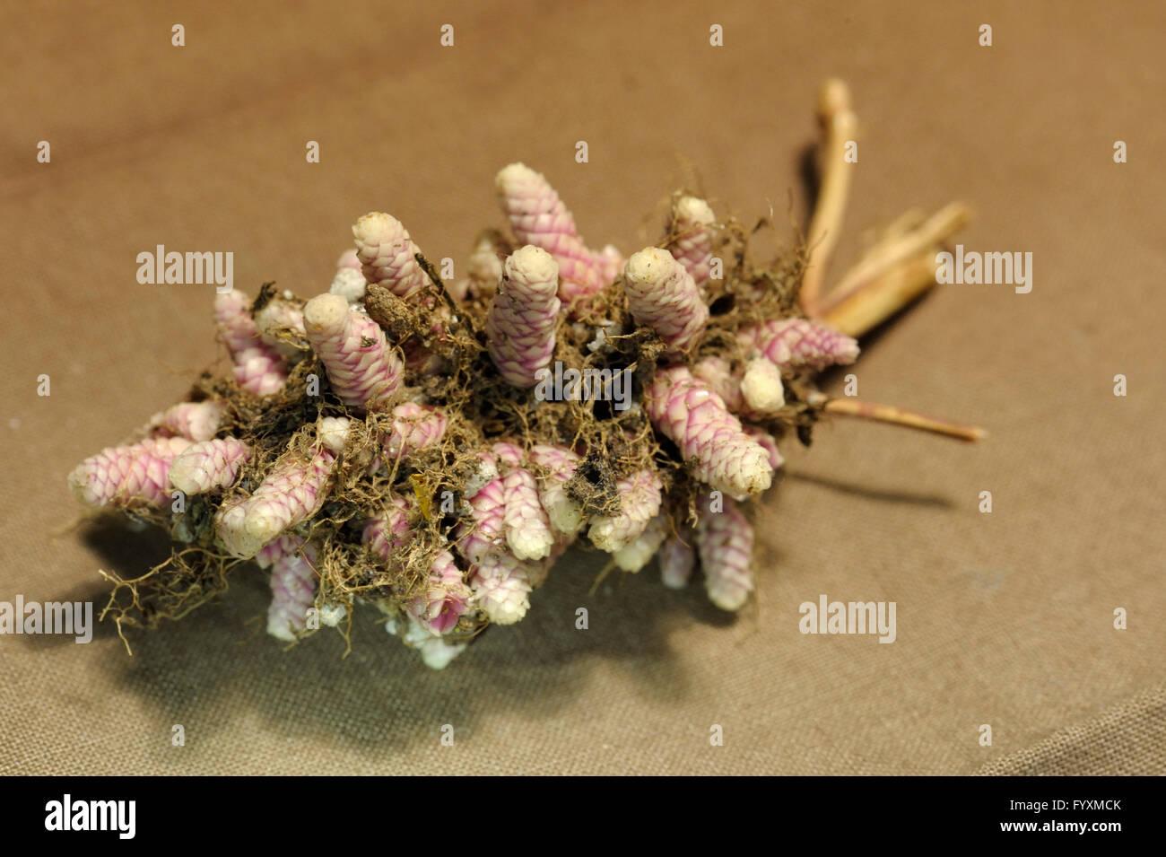 Achimenes 'Ambroise Verschaffelt' rhizomes - Stock Image