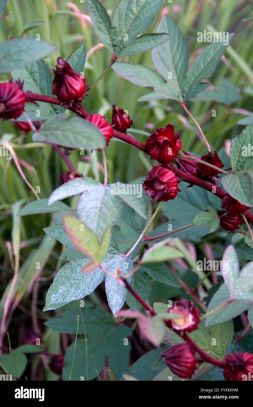 Hibiscus Sabdariffa Red Zinger Tea Stock Photo 103234480 Alamy