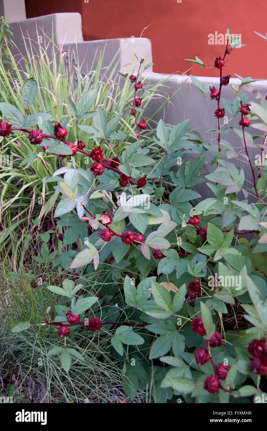 Hibiscus Sabdariffa Red Zinger Tea Stock Photo 103234483 Alamy