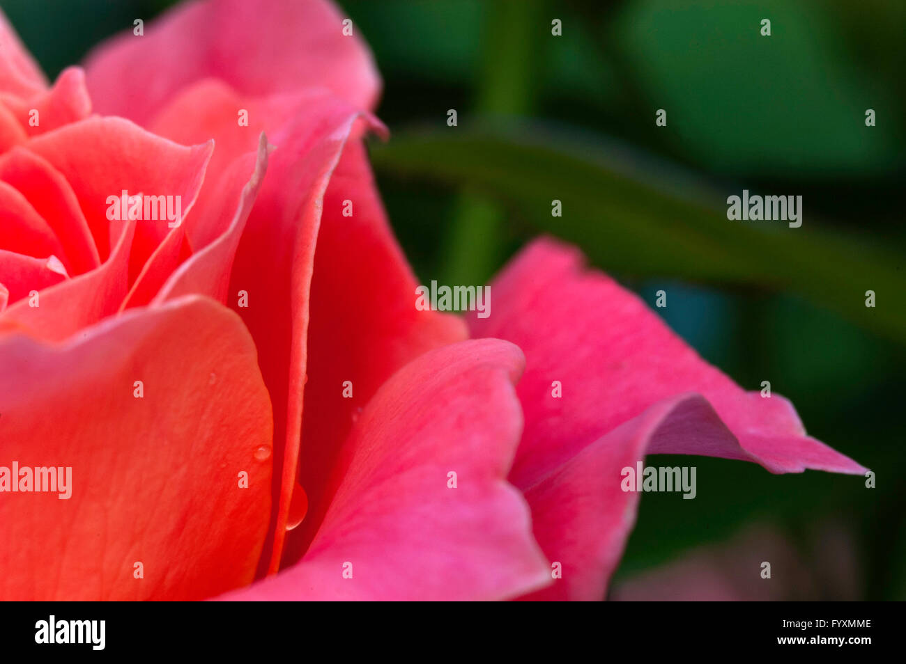 Rose,Rose , LIVING EASY, close up, - Stock Image