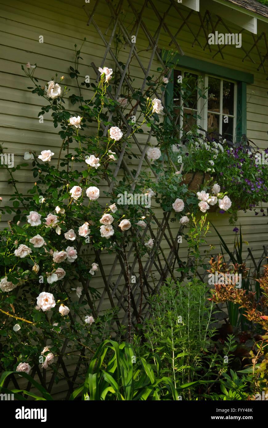 Rose,Rosa AWAKENING - Stock Image