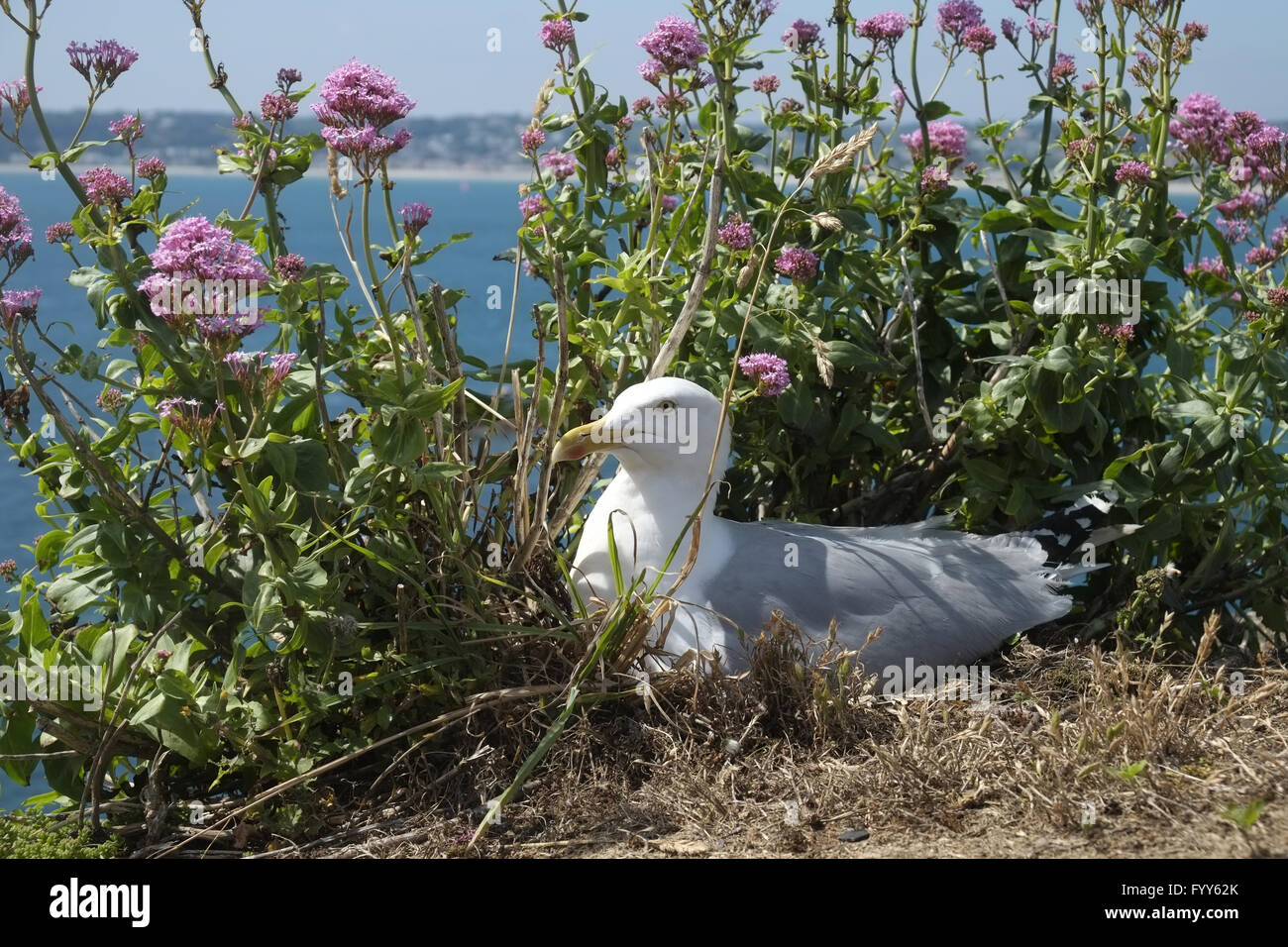 Breeding Herring gull Stock Photo