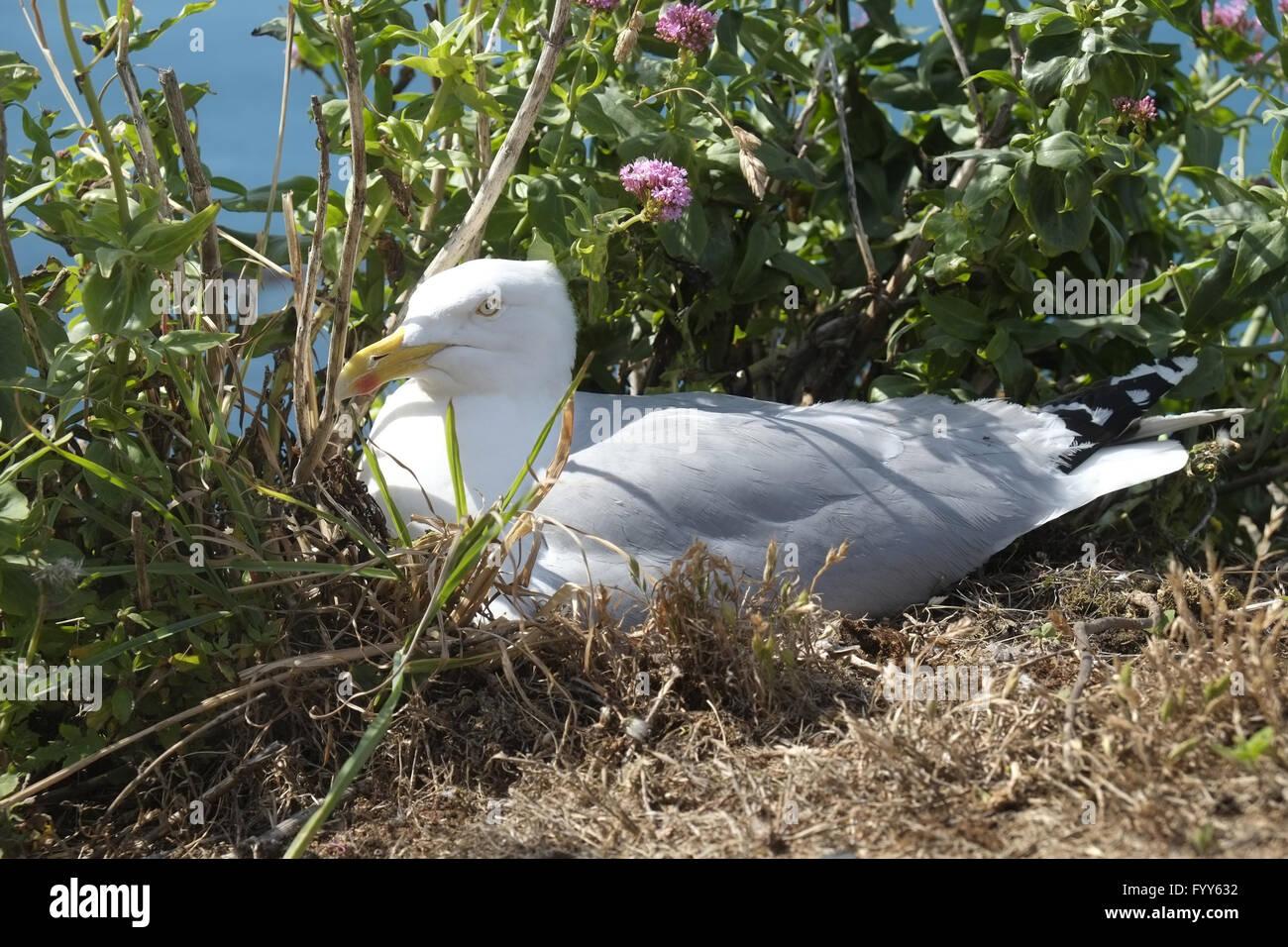 Breeding Herring gull Stock Photo
