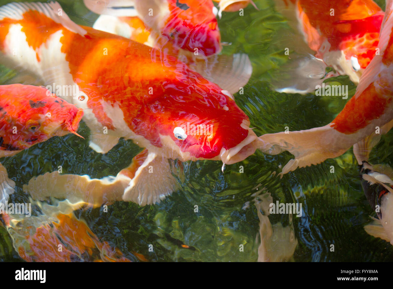 carp Koi fish orange color in pond Stock Photo: 103247098 - Alamy