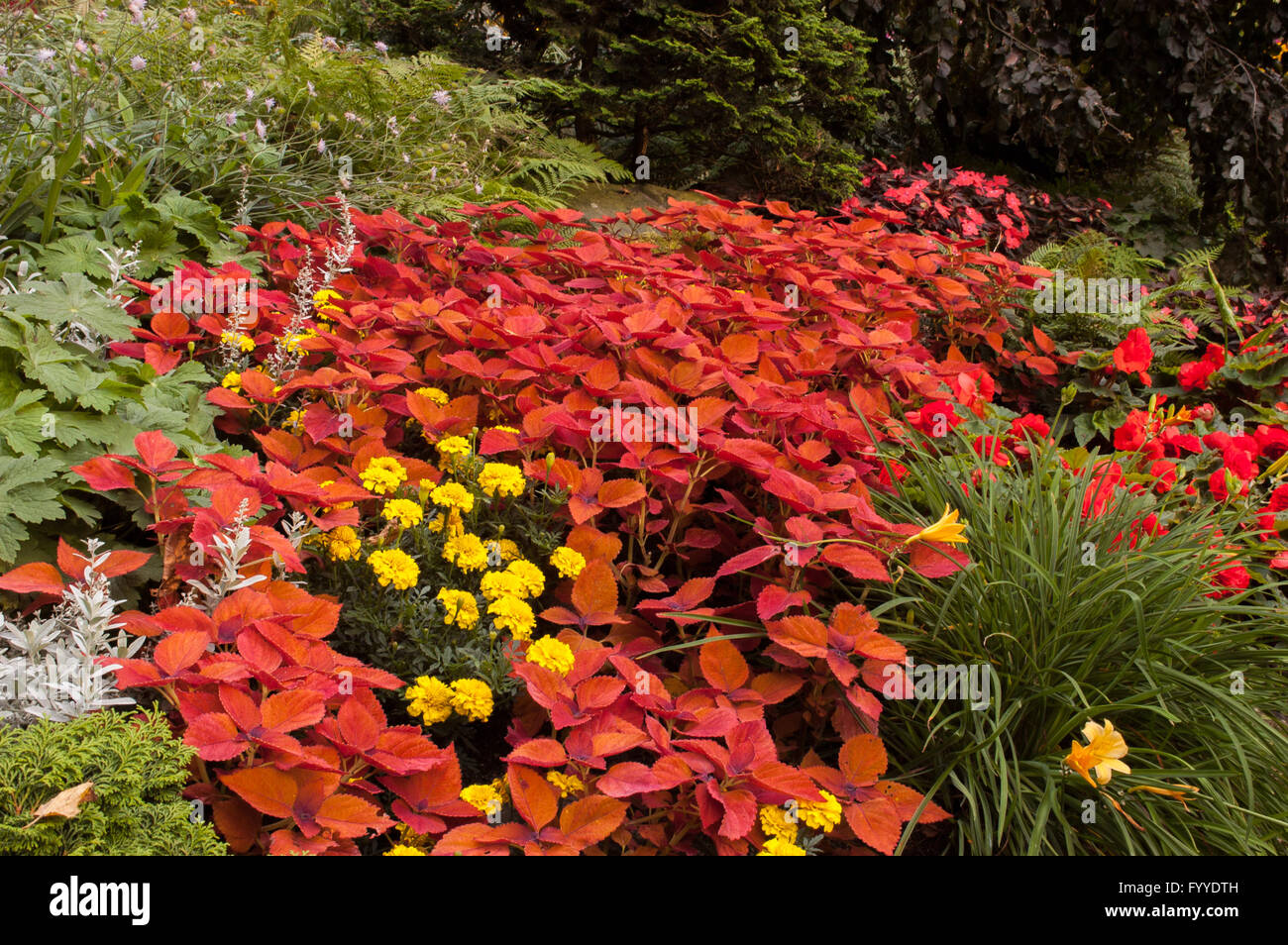 Coleus In Landscaped Garden   Stock Image