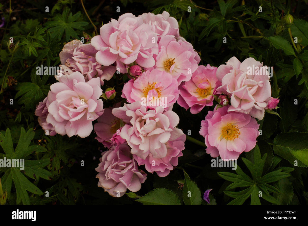 Rose,  Rose Mystic  Towne and Country Landscape Stock Photo