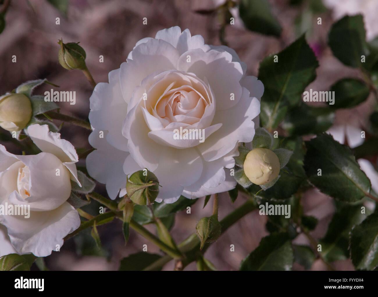 Rose, Rosa  Snowdrift  Easy Elegance, shrub - Stock Image