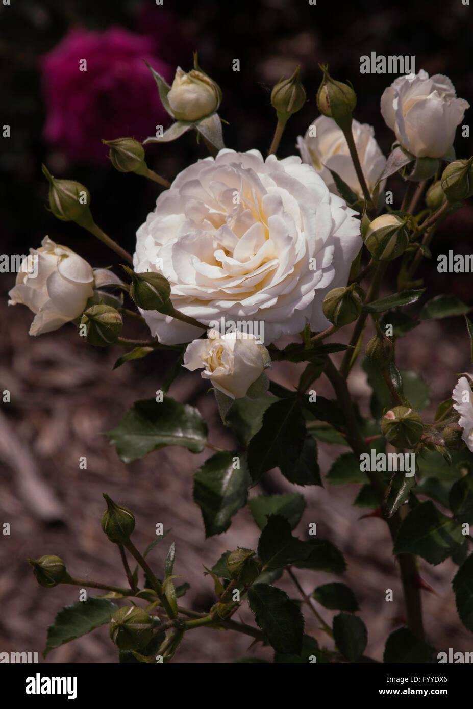 Rose,Rosa  Snowdrift . easy elegance, shrub - Stock Image