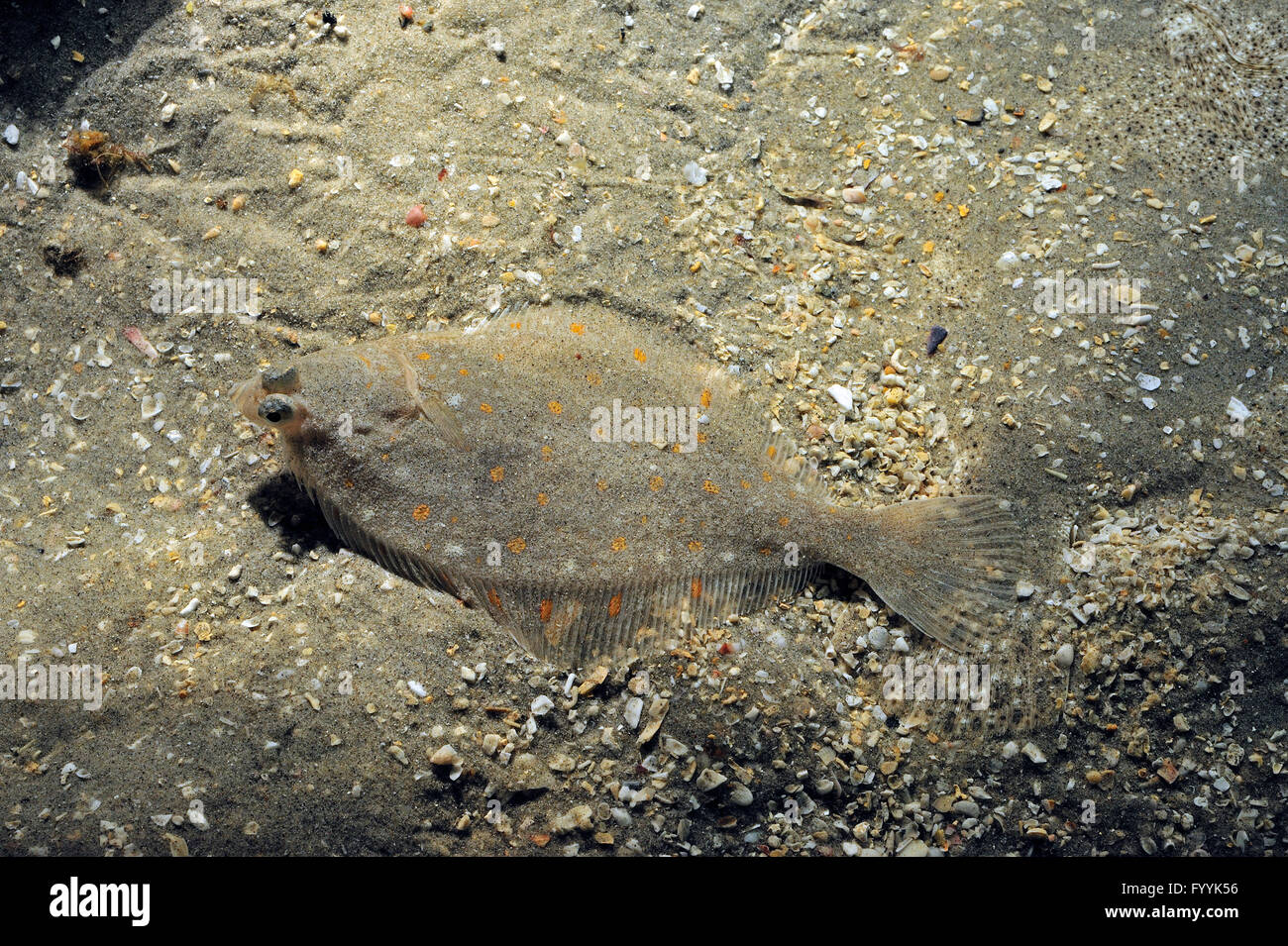 European plaice (Pleuronectes platessa) perfectly camouflaged by blending in with the sea floor - Stock Image
