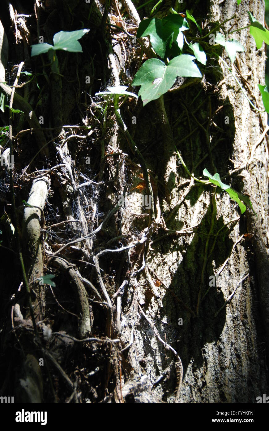 Ivy on tree Meon Valley trail near Hampshire southern England - Stock Image
