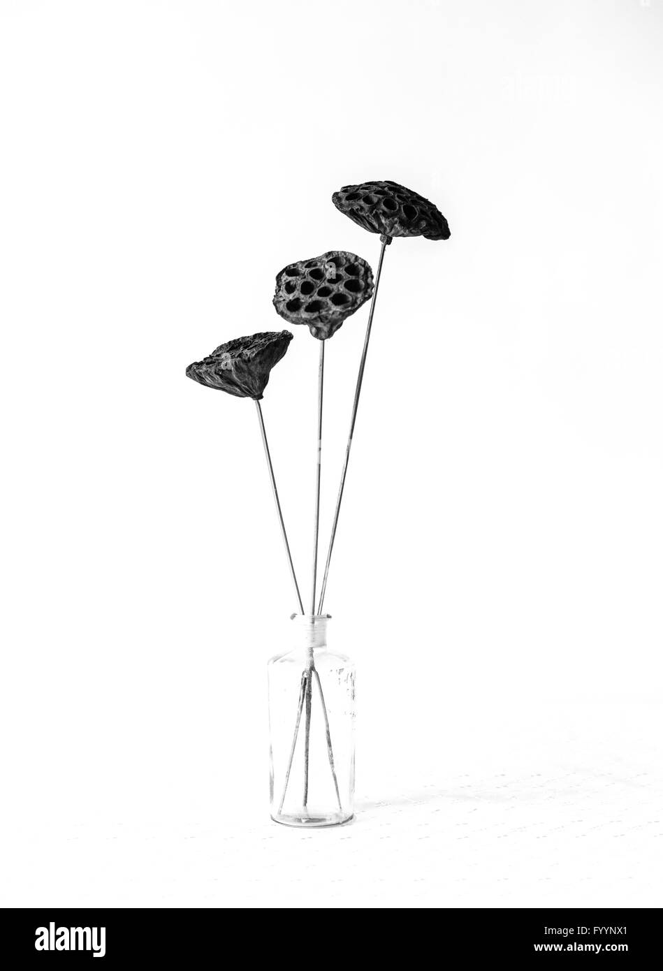A monochrome image of 3 seed heads in a glass jar against a white background - Stock Image