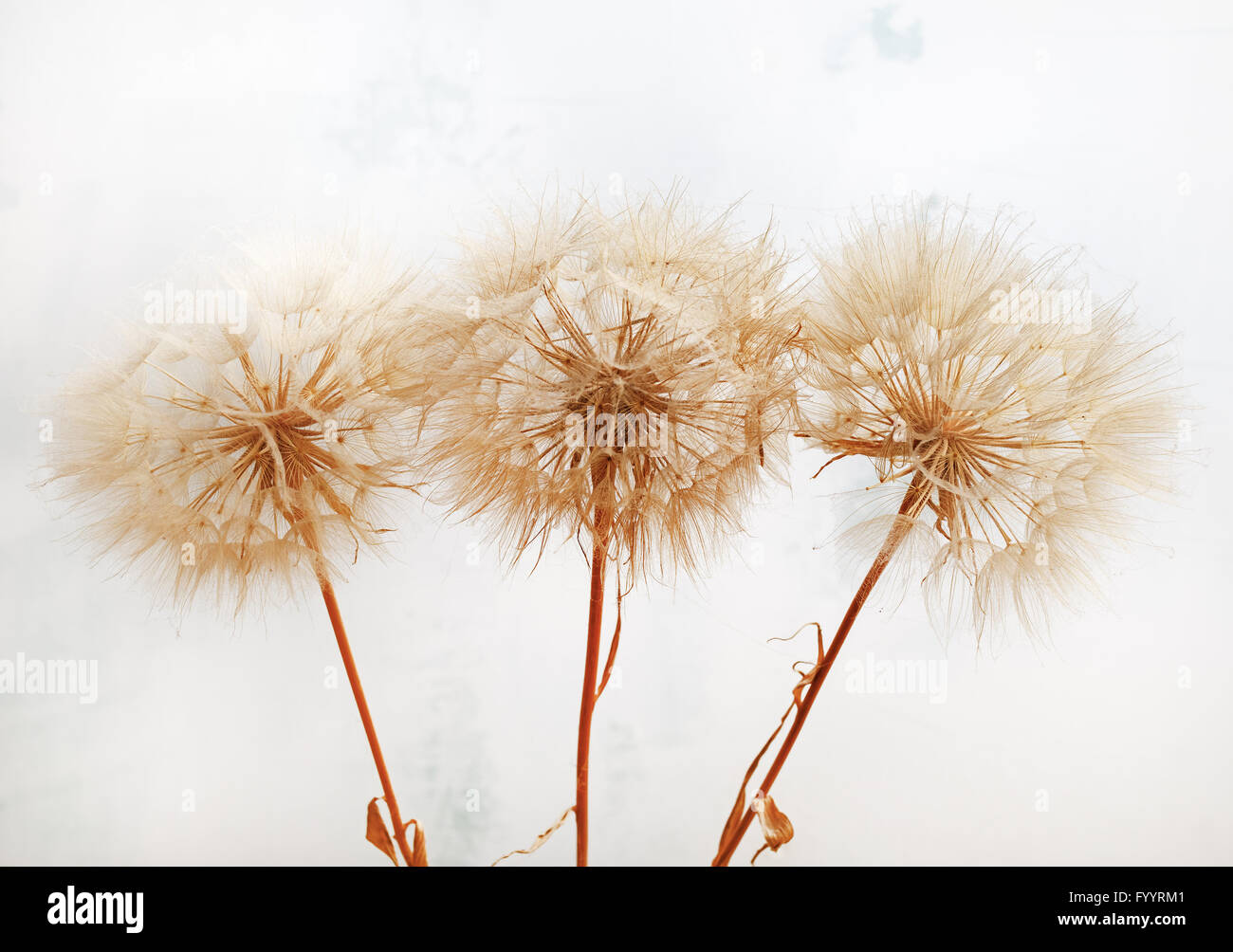 Fluffy dried plants - Stock Image
