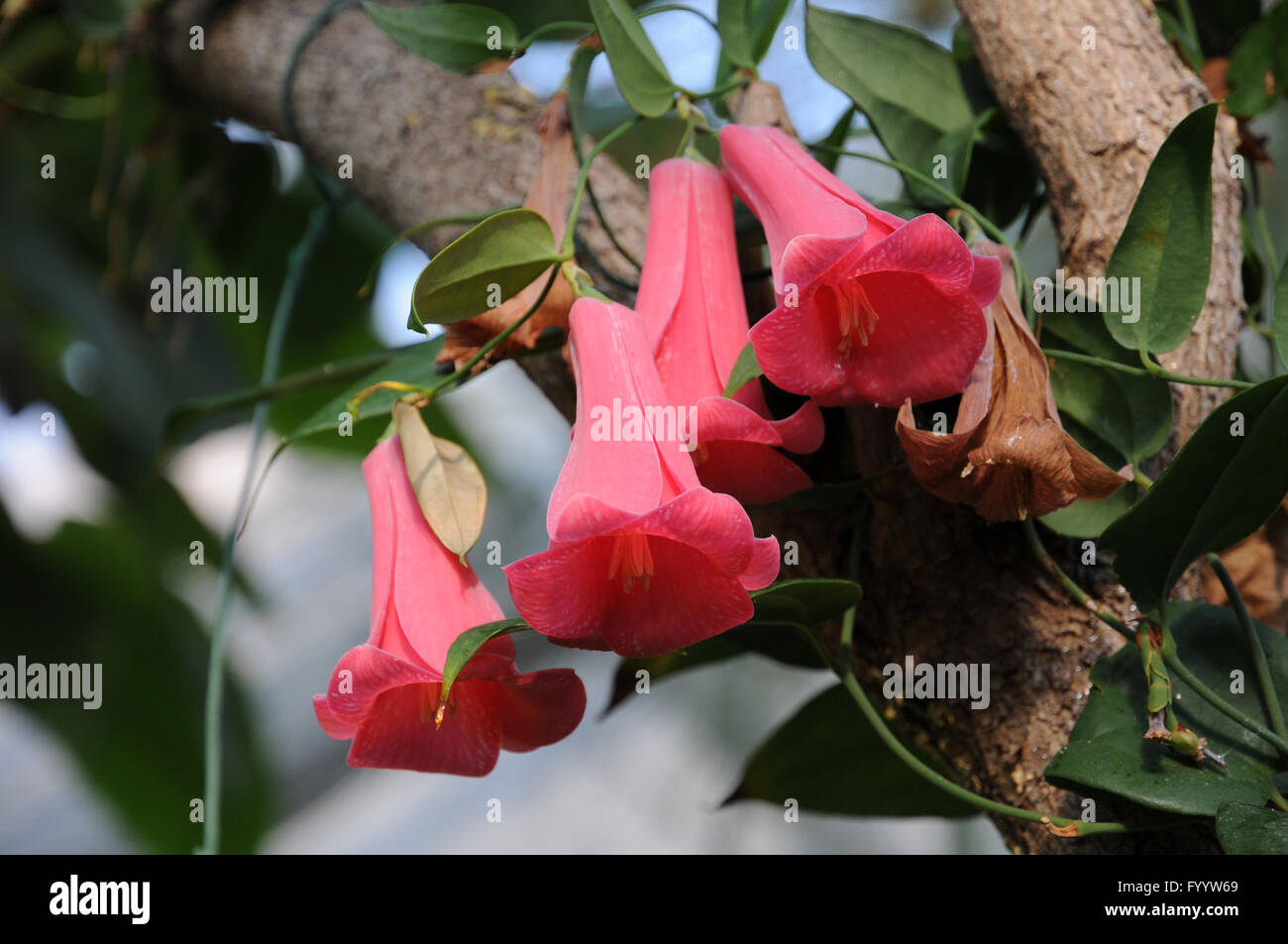 """Lapageria rosea /""""Chilean Bellflower/"""" red pure and mix colours"""