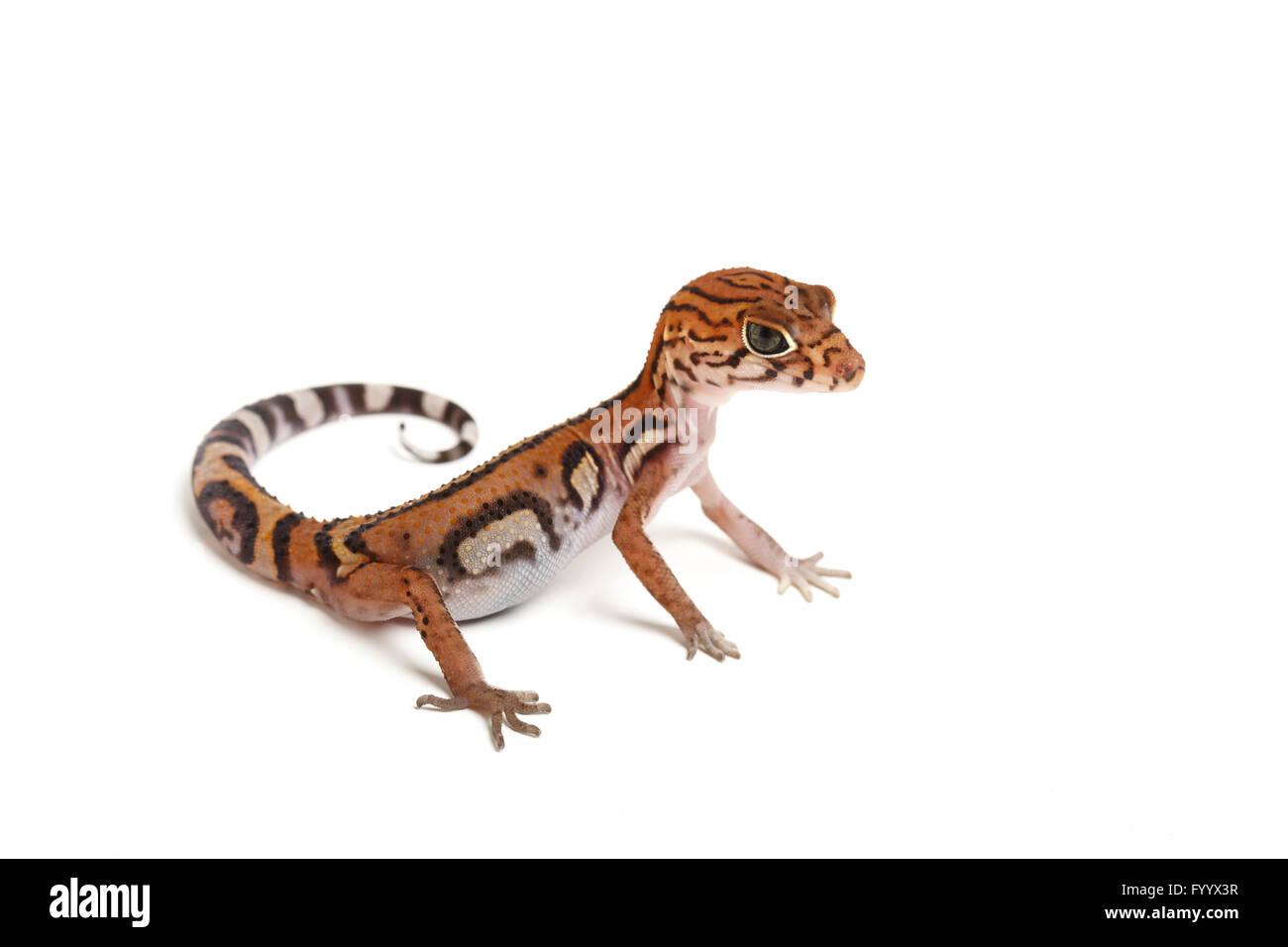 Yucatán Banded Gecko, Coleonyx elegans, adult. Central America. A member of the Eublepharidae family (captive) - Stock Image